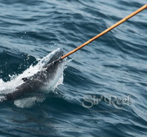 Gaffing A Kingfish During the Saltwater Shootout