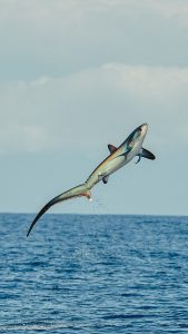 Thresher Shark Jumping From Water